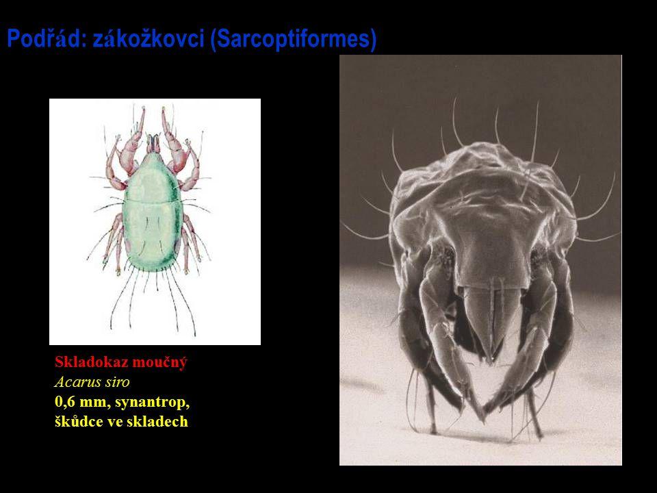 Podř á d: z á kožkovci (Sarcoptiformes) Skladokaz moučný Acarus siro 0,6 mm, synantrop, škůdce ve skladech
