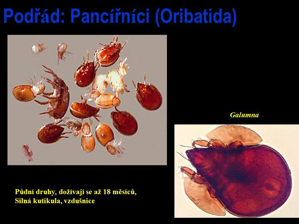 Podř á d: Panc í řn í ci (Oribatida) Galumna Půdní druhy, dožívají se až 18 měsíců, Silná kutikula, vzdušnice