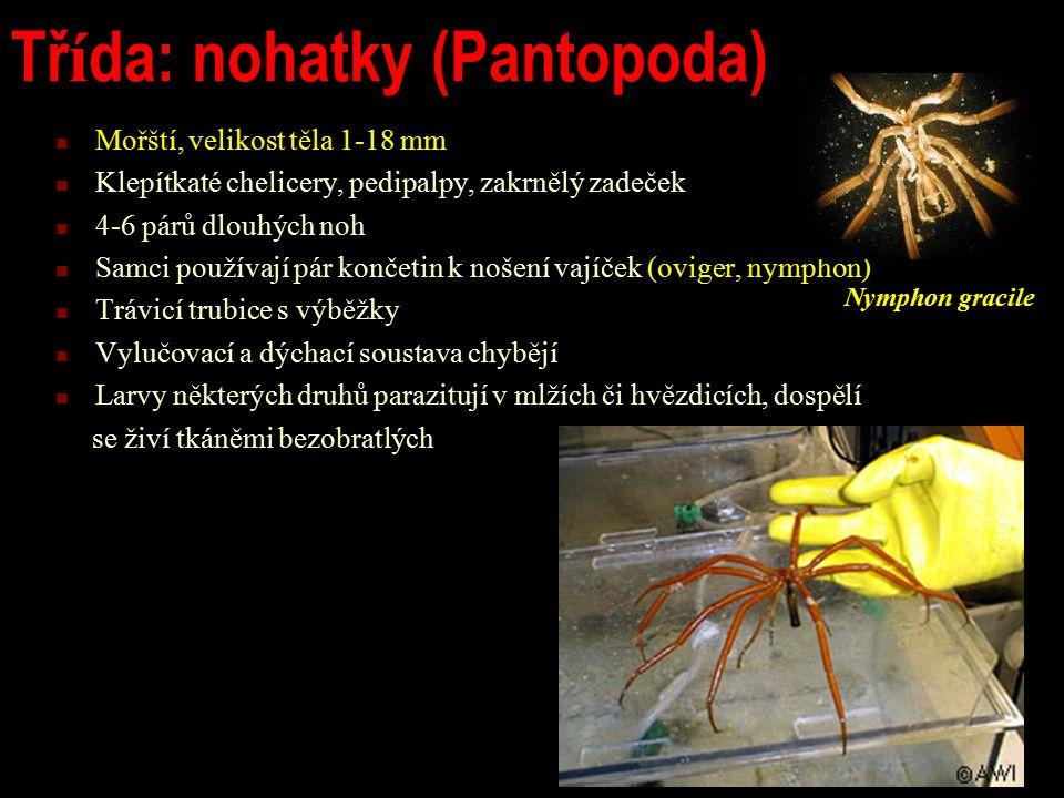Tř í da: nohatky (Pantopoda) Mořští, velikost těla 1-18 mm Klepítkaté chelicery, pedipalpy, zakrnělý zadeček 4-6 párů dlouhých noh Samci používají pár končetin k nošení vajíček (oviger, nymphon) Trávicí trubice s výběžky Vylučovací a dýchací soustava chybějí Larvy některých druhů parazitují v mlžích či hvězdicích, dospělí se živí tkáněmi bezobratlých Nymphon gracile