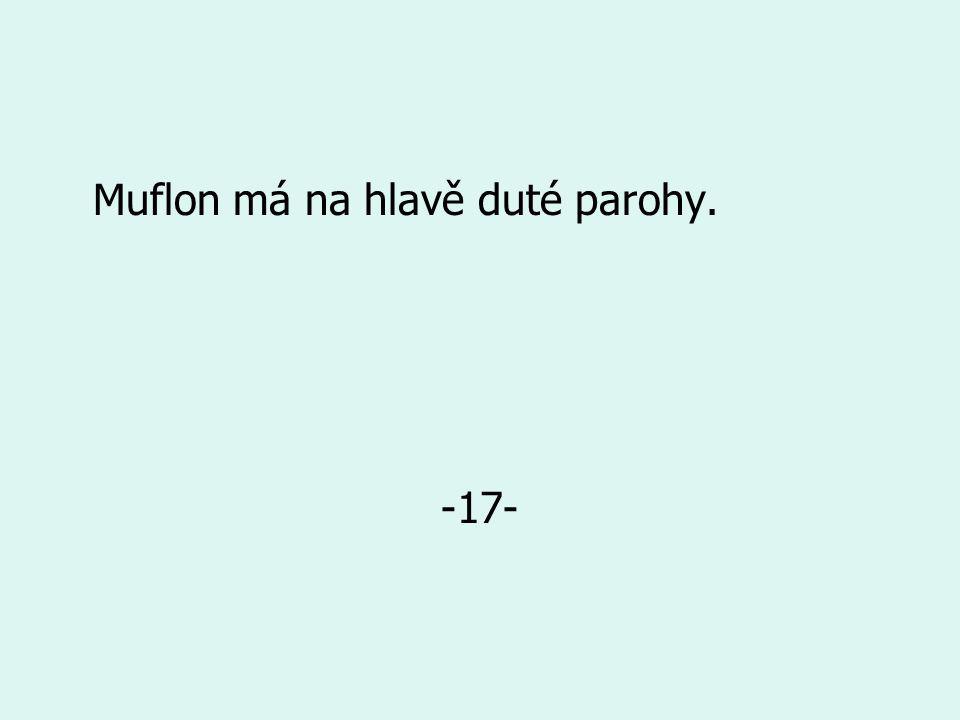 Muflon má na hlavě duté parohy. -17-