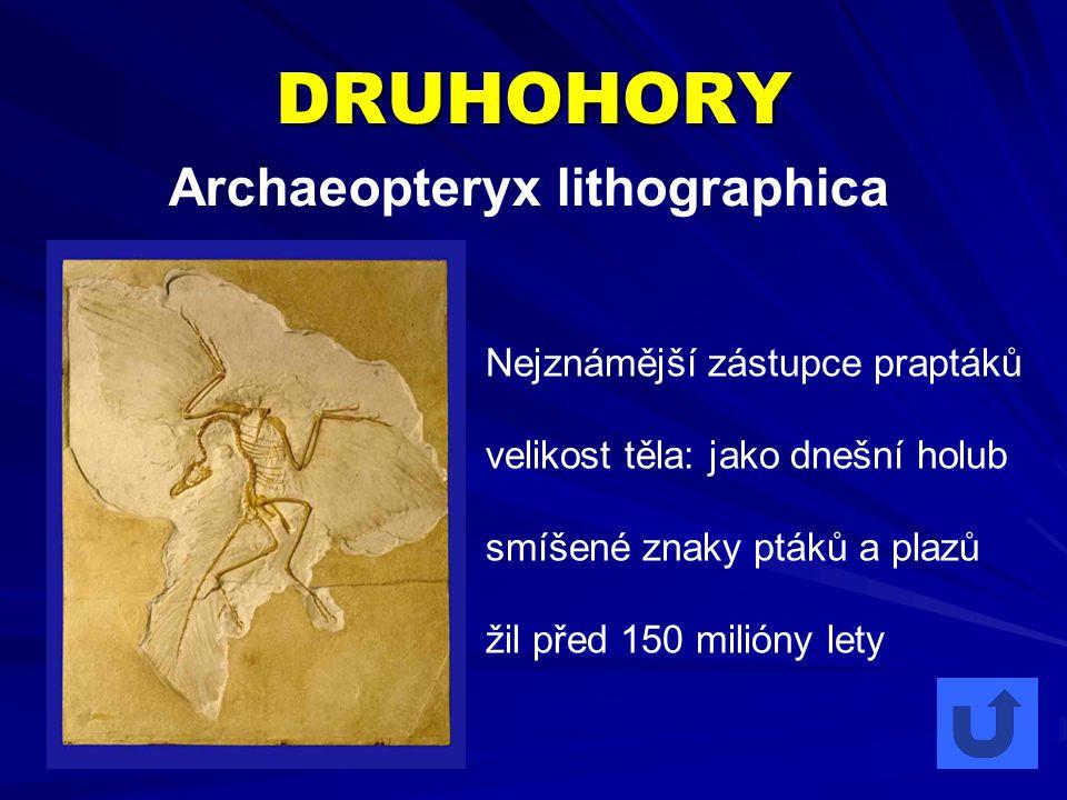 DRUHOHORY Archaeopteryx lithographica Nejznámější zástupce praptáků velikost těla: jako dnešní holub smíšené znaky ptáků a plazů žil před 150 milióny lety