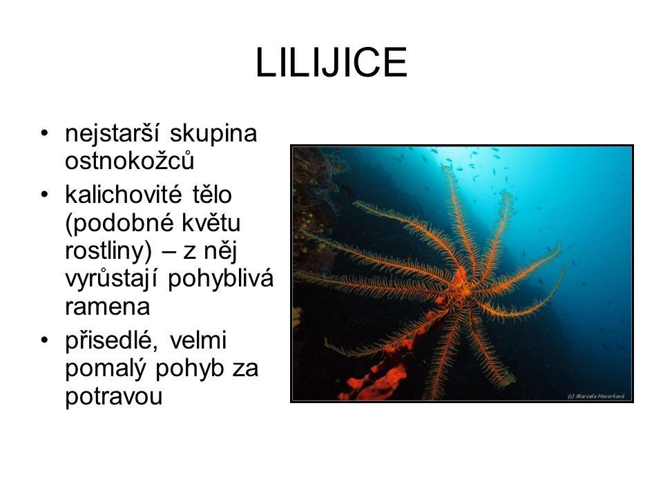 LILIJICE nejstarší skupina ostnokožců kalichovité tělo (podobné květu rostliny) – z něj vyrůstají pohyblivá ramena přisedlé, velmi pomalý pohyb za pot