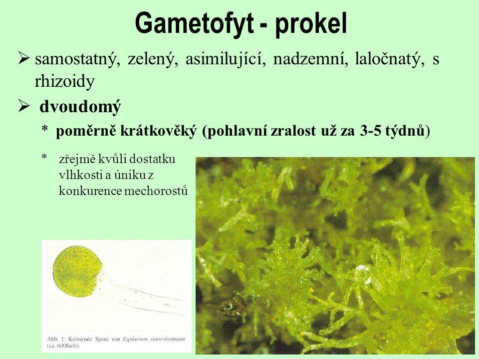 Gametofyt - prokel  samostatný, zelený, asimilující, nadzemní, laločnatý, s rhizoidy  dvoudomý *poměrně krátkověký (pohlavní zralost už za 3-5 týdnů) *zřejmě kvůli dostatku vlhkosti a úniku z konkurence mechorostů