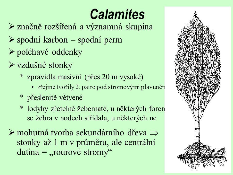 Calamites  poléhavé oddenky  vzdušné stonky *zpravidla masivní (přes 20 m vysoké) zřejmě tvořily 2.