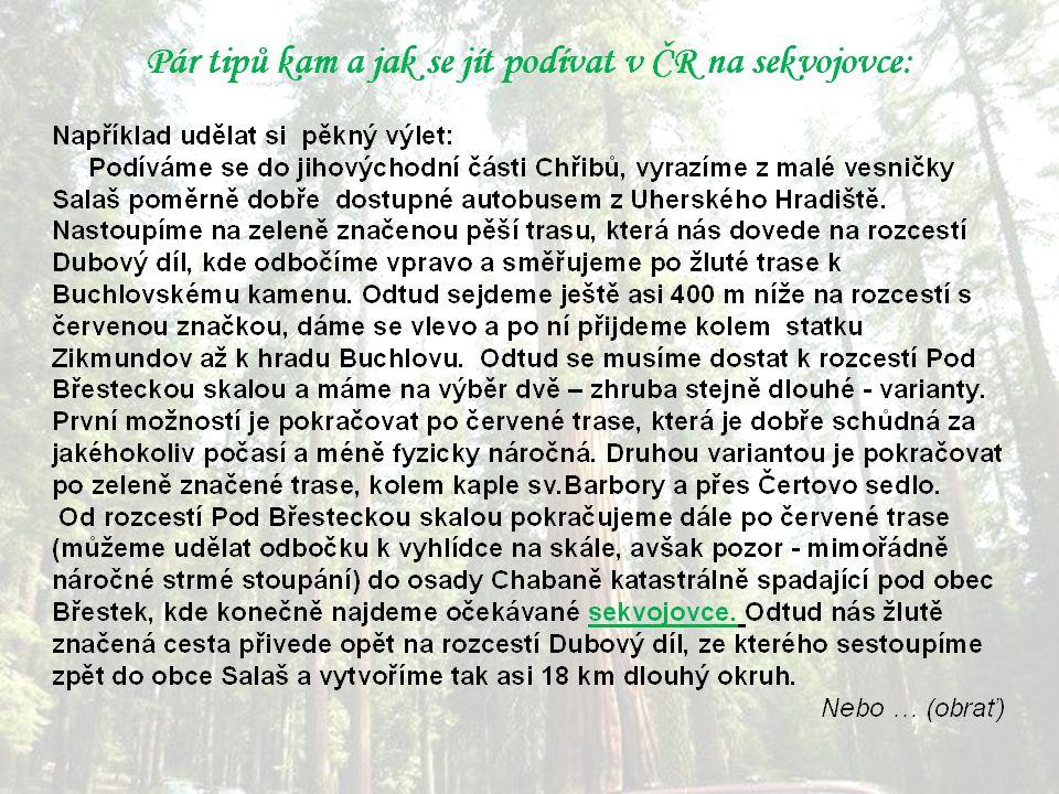"""Ne každý se dostane """"za velkou louži a tak si lze sekvojovce prohlédnout i v Evropě a dokonce i u nás v ČR."""
