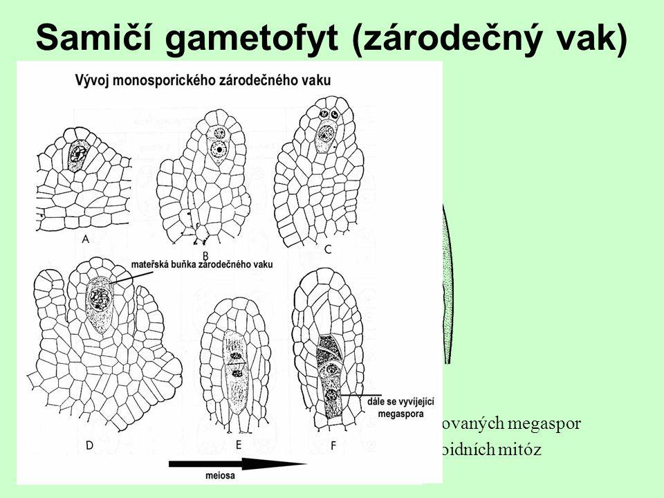 Samčí gametofyt  tvořen třemi buňkami spermatida vegetativní buňkagenerativní buňka +  pylová zrna původně dvoujaderná a druhá haploidní mitóza prob