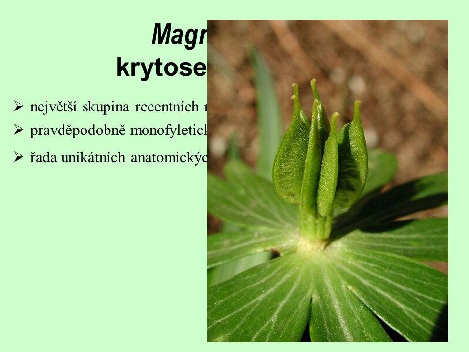 Magnoliophyta krytosemenné rostliny  největší skupina recentních rostlin (260 000 druhů)  řada unikátních anatomických a morfologických znaků  pravděpodobně monofyletická skupina