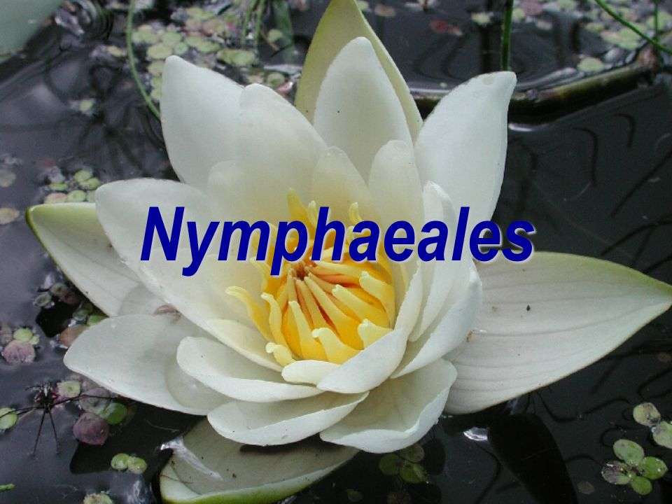 Amborellales, Amborellaceae  molekulárně vychází jako nejprimitivnější krytosemenná rostlina (zpravidla)  jediný zástupce Amborella trichopoda na No