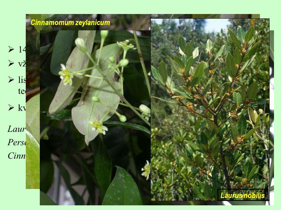 Laurales, Lauraceae