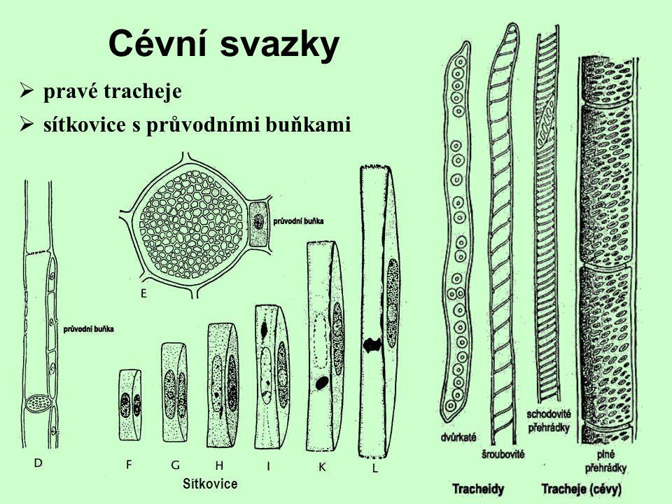 Magnoliophyta krytosemenné rostliny  největší skupina recentních rostlin (260 000 druhů)  řada unikátních anatomických a morfologických znaků  prav
