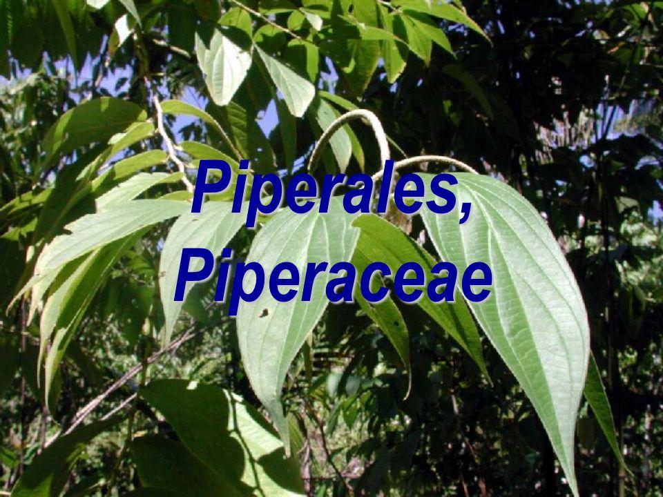  vždyzelené dřeviny  květy drobnější a trojčetné  14/3000; drtivou většinou tropická skupina  listy silné, nejčastěji celistvé, celokrajné – žlázn