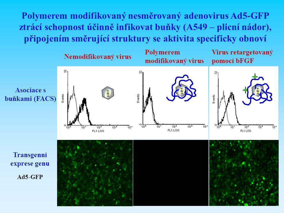 Nemodifikovaný virus Polymerem modifikovaný nesměrovaný adenovirus Ad5-GFP ztrácí schopnost účinně infikovat buňky (A549 – plicní nádor), připojením s