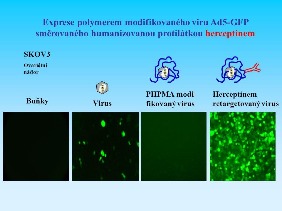 SKOV3 Ovariální nádor Buňky Virus PHPMA modi- fikovaný virus Herceptinem retargetovaný virus Exprese polymerem modifikovaného viru Ad5-GFP směrovaného
