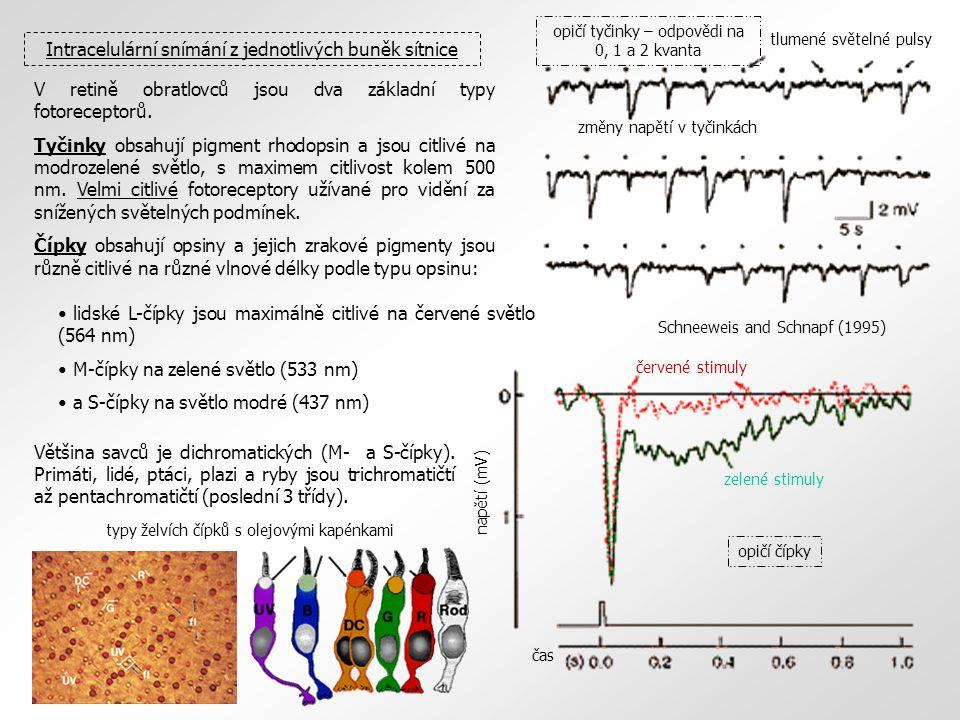 tlumené světelné pulsy změny napětí v tyčinkách Schneeweis and Schnapf (1995) zelené stimuly červené stimuly čas napětí (mV) Intracelulární snímání z