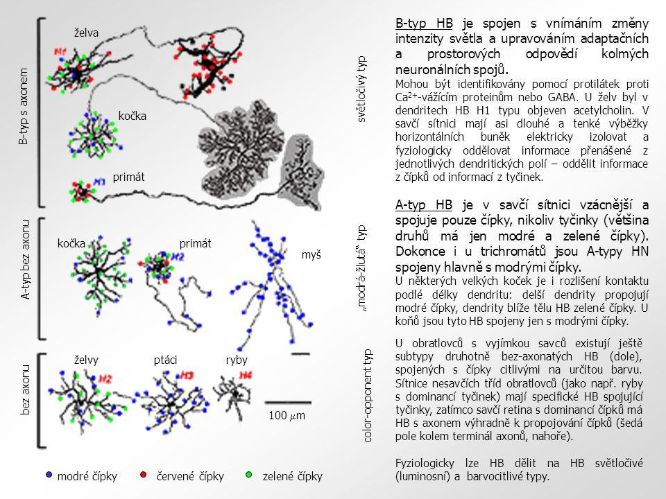 U obratlovců s vyjímkou savců existují ještě subtypy druhotně bez-axonatých HB (dole), spojených s čípky citlivými na určitou barvu. Sítnice nesavčích