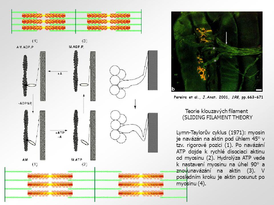 Pereira et al., J.Anat. 2001, 198, pp.663-671 Teorie klouzavých filament (SLIDING FILAMENT THEORY Lymn-Taylorův cyklus (1971): myosin je navázán na ak
