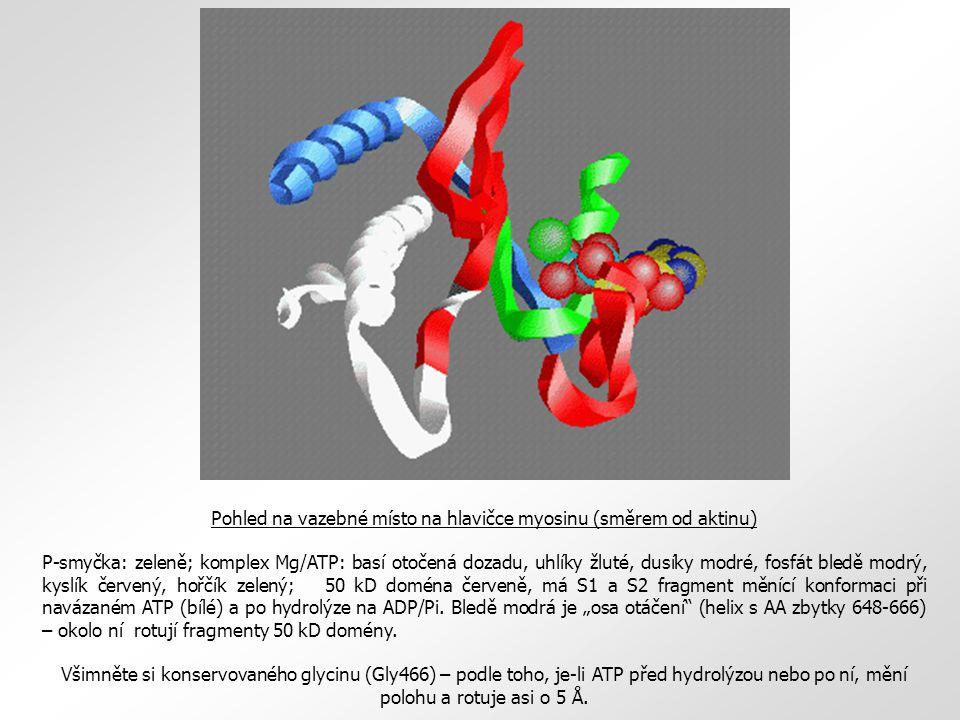 Pohled na vazebné místo na hlavičce myosinu (směrem od aktinu) P-smyčka: zeleně; komplex Mg/ATP: basí otočená dozadu, uhlíky žluté, dusíky modré, fosf