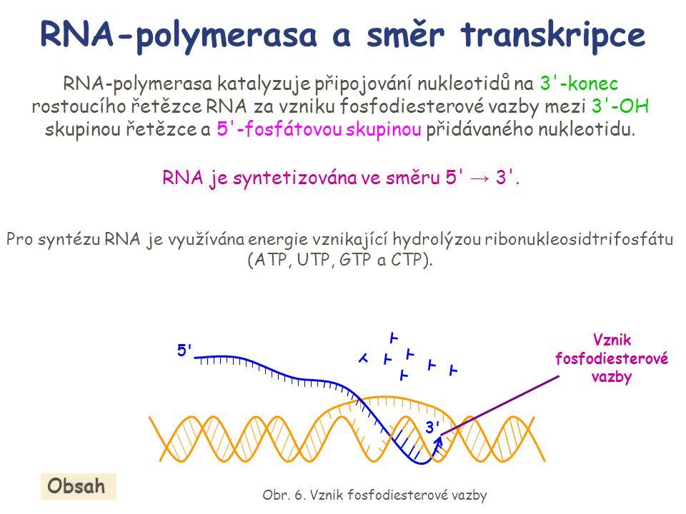 RNA-polymerasa a směr transkripce Pro syntézu RNA je využívána energie vznikající hydrolýzou ribonukleosidtrifosfátu (ATP, UTP, GTP a CTP). Vznik fosf