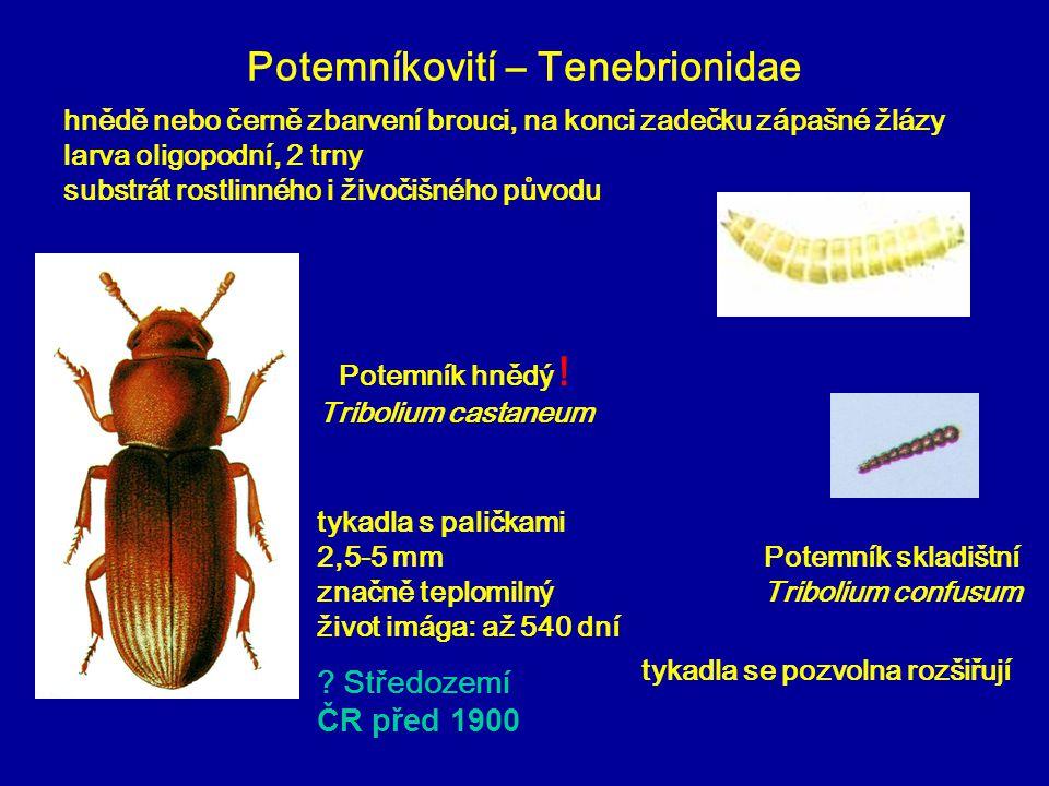 Potemníkovití – Tenebrionidae Potemník hnědý ! Tribolium castaneum Potemník skladištní Tribolium confusum tykadla se pozvolna rozšiřují tykadla s pali