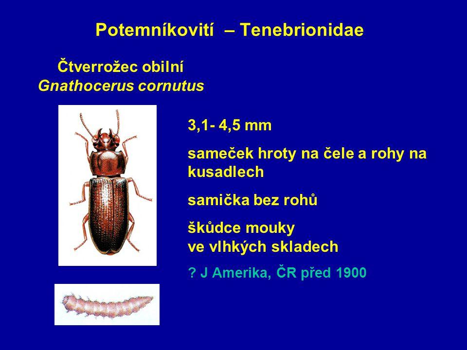 Potemníkovití – Tenebrionidae Čtverrožec obilní Gnathocerus cornutus 3,1- 4,5 mm sameček hroty na čele a rohy na kusadlech samička bez rohů škůdce mouky ve vlhkých skladech .