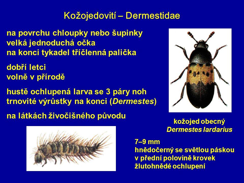 Kožojedovití – Dermestidae 7–9 mm hnědočerný se světlou páskou v přední polovině krovek žlutohnědé ochlupení kožojed obecný Dermestes lardarius na povrchu chloupky nebo šupinky velká jednoduchá očka na konci tykadel tříčlenná palička dobří letci volně v přírodě hustě ochlupená larva se 3 páry noh trnovité výrůstky na konci (Dermestes) na látkách živočišného původu