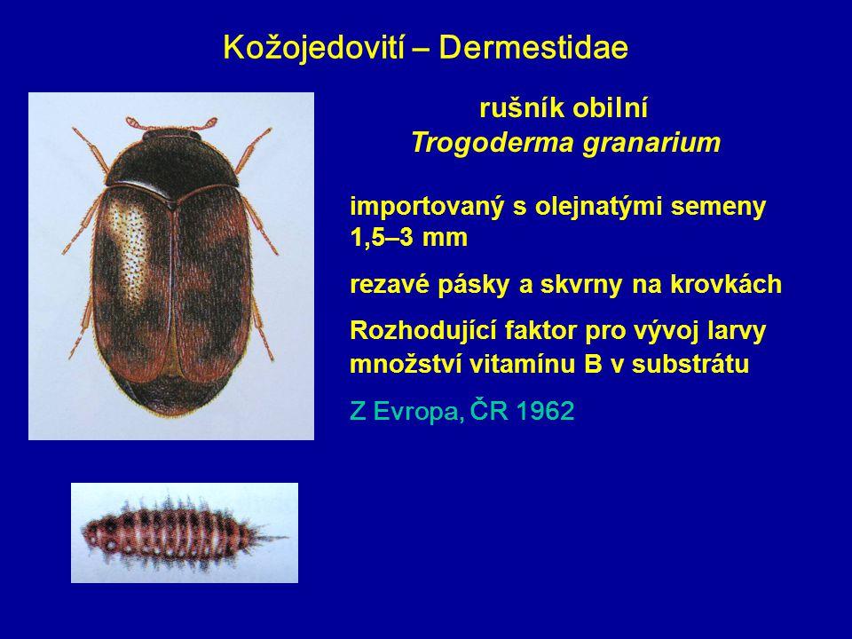 Kožojedovití – Dermestidae rušník obilní Trogoderma granarium importovaný s olejnatými semeny 1,5–3 mm rezavé pásky a skvrny na krovkách Rozhodující f