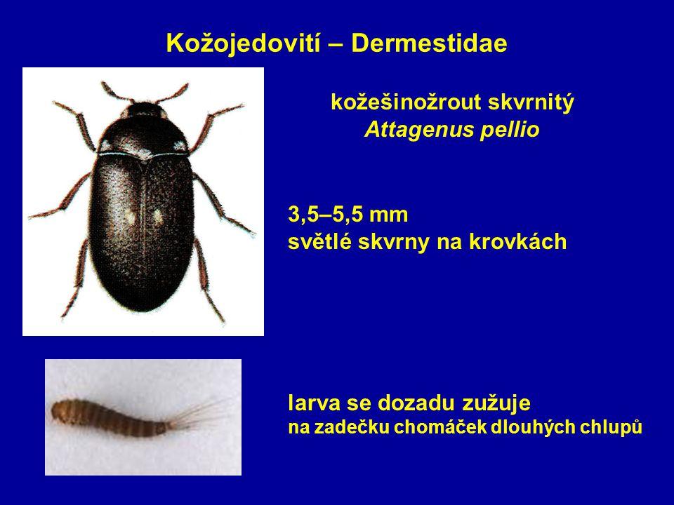 Kožojedovití – Dermestidae kožešinožrout skvrnitý Attagenus pellio 3,5–5,5 mm světlé skvrny na krovkách larva se dozadu zužuje na zadečku chomáček dlouhých chlupů