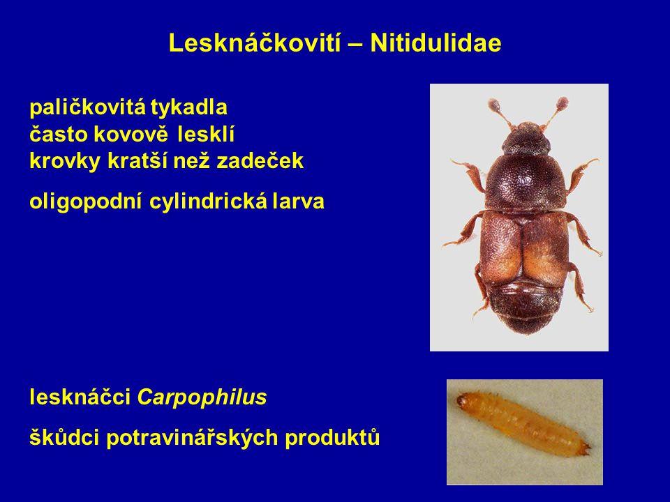 Lesknáčkovití – Nitidulidae lesknáčci Carpophilus škůdci potravinářských produktů paličkovitá tykadla často kovově lesklí krovky kratší než zadeček oligopodní cylindrická larva