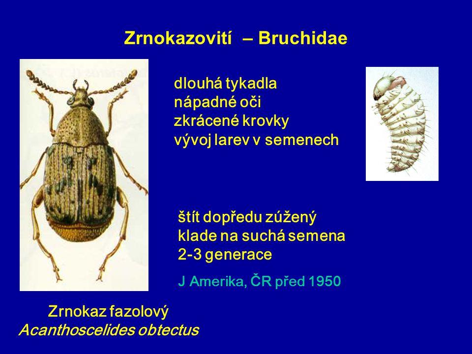 Zrnokazovití – Bruchidae Zrnokaz fazolový Acanthoscelides obtectus štít dopředu zúžený klade na suchá semena 2-3 generace J Amerika, ČR před 1950 dlou