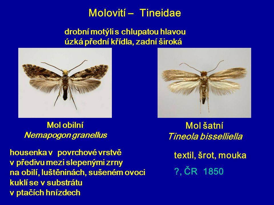 Molovití – Tineidae Mol obilní Nemapogon granellus housenka v povrchové vrstvě v předivu mezi slepenými zrny na obilí, luštěninách, sušeném ovoci kukl