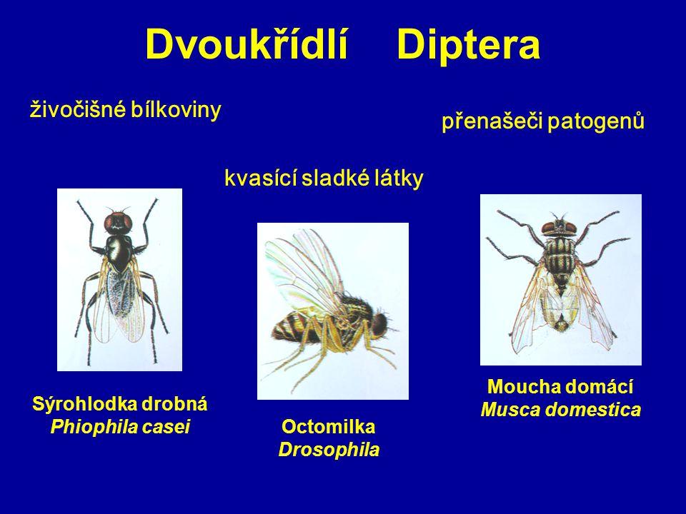 Dvoukřídlí Diptera živočišné bílkoviny kvasící sladké látky přenašeči patogenů Sýrohlodka drobná Phiophila casei Octomilka Drosophila Moucha domácí Mu