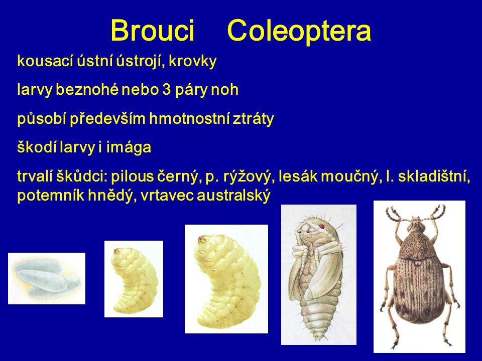 Brouci Coleoptera kousací ústní ústrojí, krovky larvy beznohé nebo 3 páry noh působí především hmotnostní ztráty škodí larvy i imága trvalí škůdci: pilous černý, p.