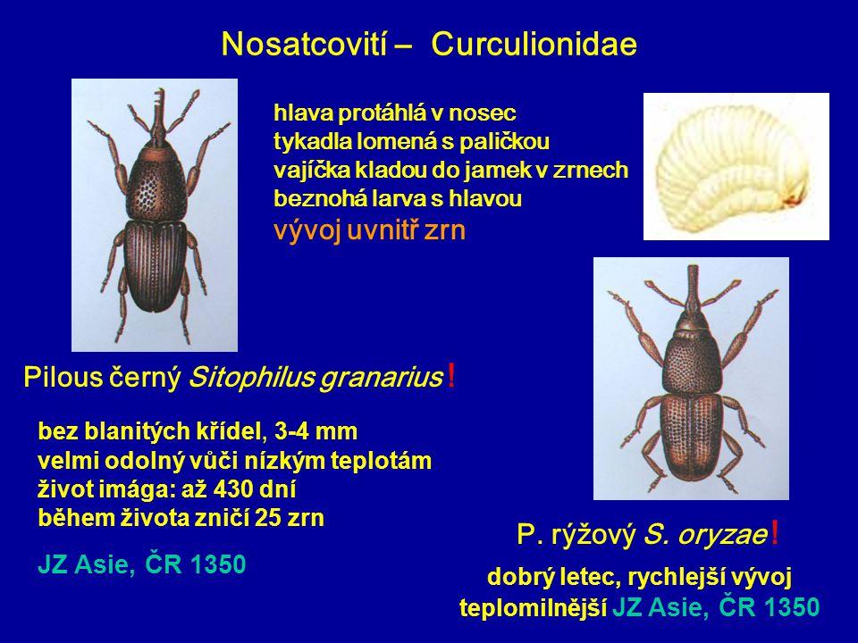 Nosatcovití – Curculionidae Pilous černý Sitophilus granarius ! P. rýžový S. oryzae ! bez blanitých křídel, 3-4 mm velmi odolný vůči nízkým teplotám ž