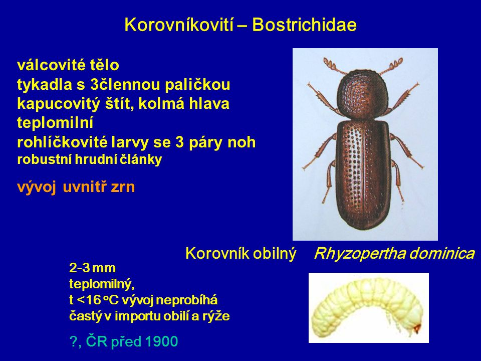 Korovníkovití – Bostrichidae Korovník obilný Rhyzopertha dominica 2-3 mm teplomilný, t <16 o C vývoj neprobíhá častý v importu obilí a rýže ?, ČR před 1900 válcovité tělo tykadla s 3člennou paličkou kapucovitý štít, kolmá hlava teplomilní rohlíčkovité larvy se 3 páry noh robustní hrudní články vývoj uvnitř zrn