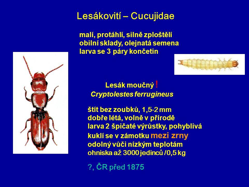 Lesákovití – Cucujidae štít bez zoubků, 1,5-2 mm dobře létá, volně v přírodě larva 2 špičaté výrůstky, pohyblivá kuklí se v zámotku mezi zrny odolný vůči nízkým teplotám ohniska až 3000 jedinců /0,5 kg ?, ČR před 1875 Lesák moučný .
