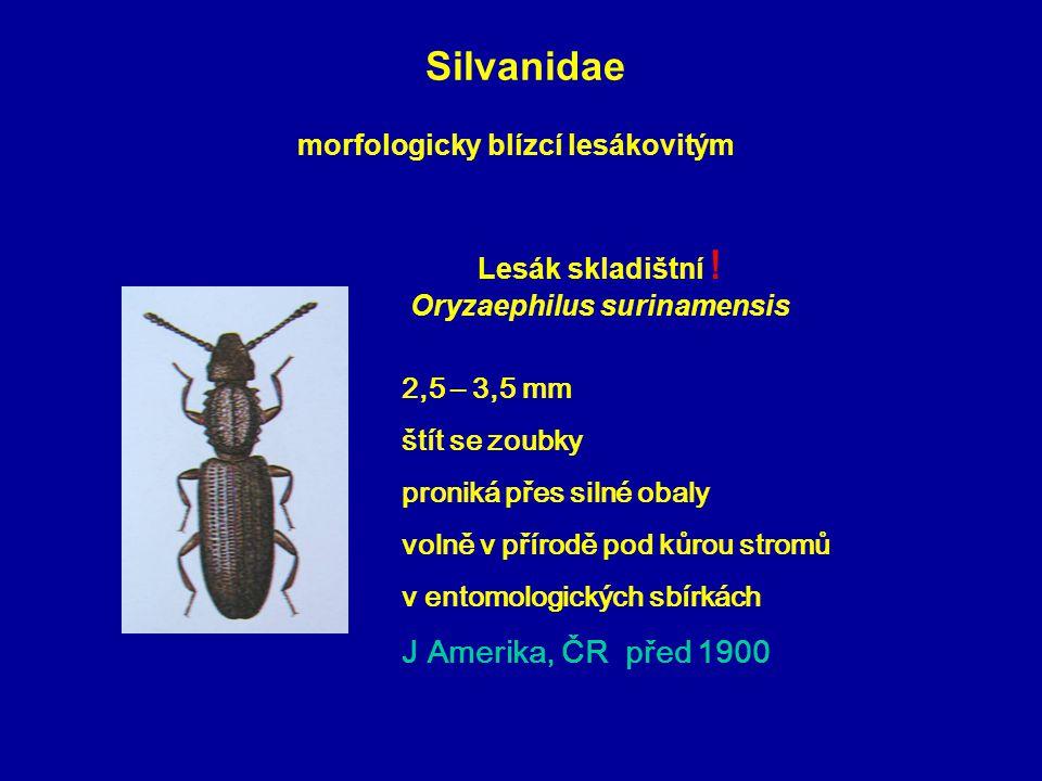 Silvanidae 2,5 – 3,5 mm štít se zoubky proniká přes silné obaly volně v přírodě pod kůrou stromů v entomologických sbírkách J Amerika, ČR před 1900 Lesák skladištní .