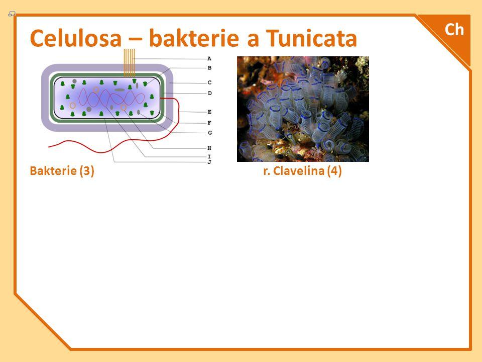 Celulosa – bakterie a Tunicata Bakterie (3) r. Clavelina (4) Ch