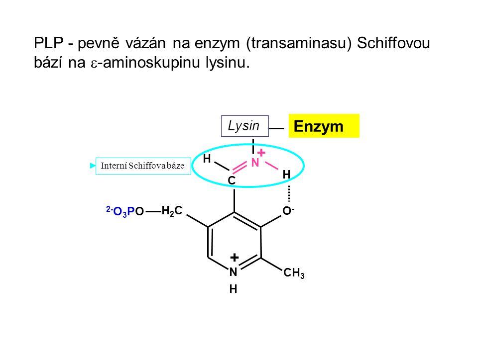 PLP - pevně vázán na enzym (transaminasu) Schiffovou bází na  -aminoskupinu lysinu. N H + CH3CH3 O-O- C H2CH2C 2- O 3 PO N H + H Enzym Lysin Interní