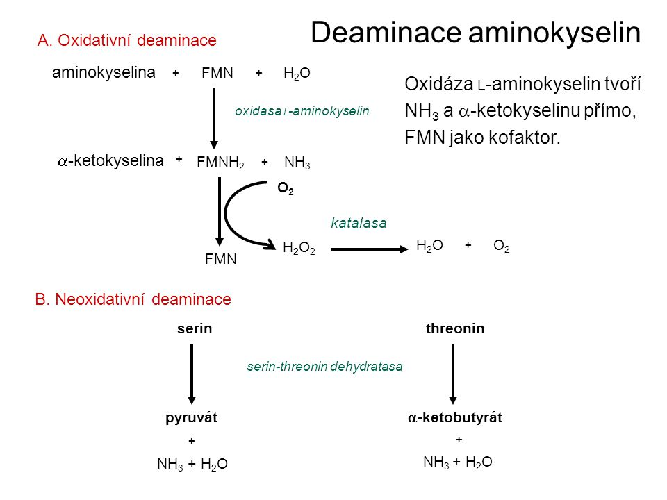 Deaminace aminokyselin aminokyselina FMNH2OH2O ++  -ketokyselina FMNH 2 NH 3 oxidasa L -aminokyselin A. Oxidativní deaminace FMN H2O2H2O2 H2OH2OO2O2