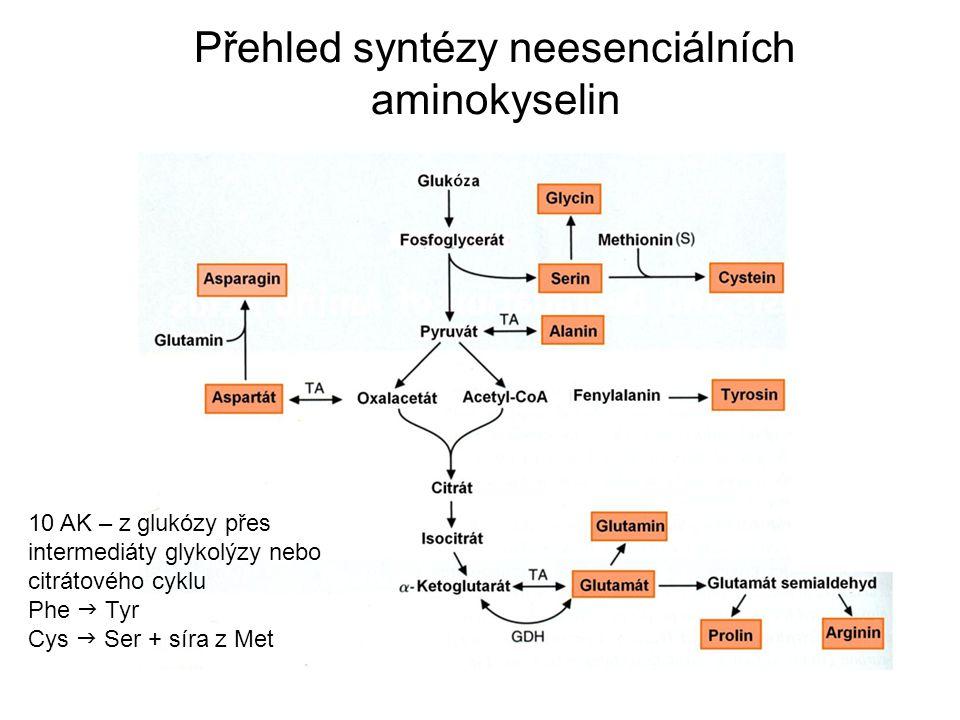 Přehled syntézy neesenciálních aminokyselin 10 AK – z glukózy přes intermediáty glykolýzy nebo citrátového cyklu Phe  Tyr Cys  Ser + síra z Met