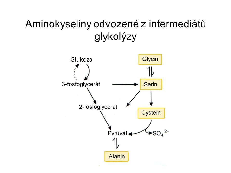 Aminokyseliny odvozené z intermediátů glykolýzy