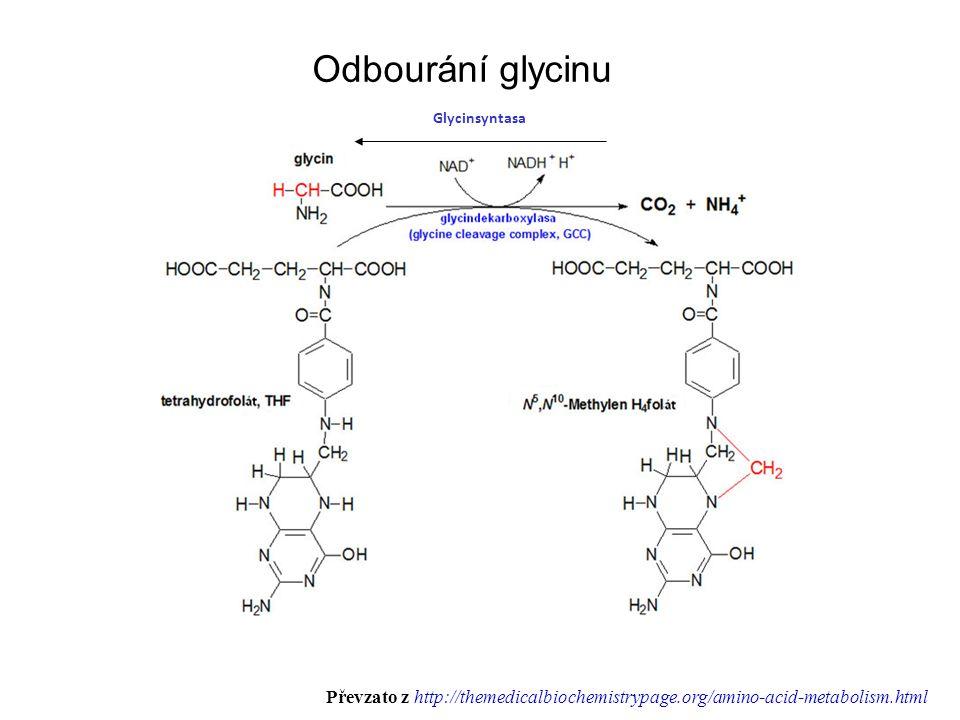Odbourání glycinu Glycinsyntasa (H 4 folate) Převzato z http://themedicalbiochemistrypage.org/amino-acid-metabolism.html