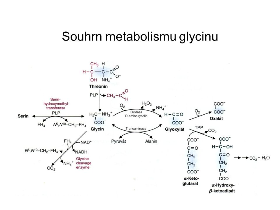 Souhrn metabolismu glycinu