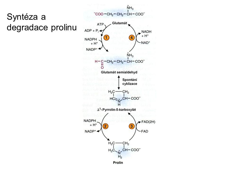 Syntéza a degradace prolinu