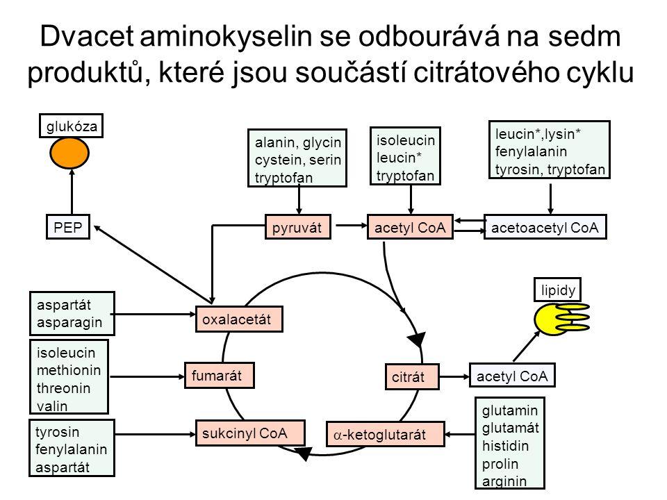 pyruvátacetyl CoA oxalacetát fumarát sukcinyl CoA acetoacetyl CoA  -ketoglutarát citrát PEP aspartát asparagin tyrosin fenylalanin aspartát isoleucin