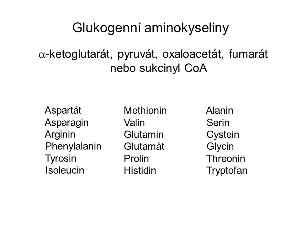 Glukogenní aminokyseliny  -ketoglutarát, pyruvát, oxaloacetát, fumarát nebo sukcinyl CoA Aspartát Asparagin Arginin Phenylalanin Tyrosin Isoleucin Me