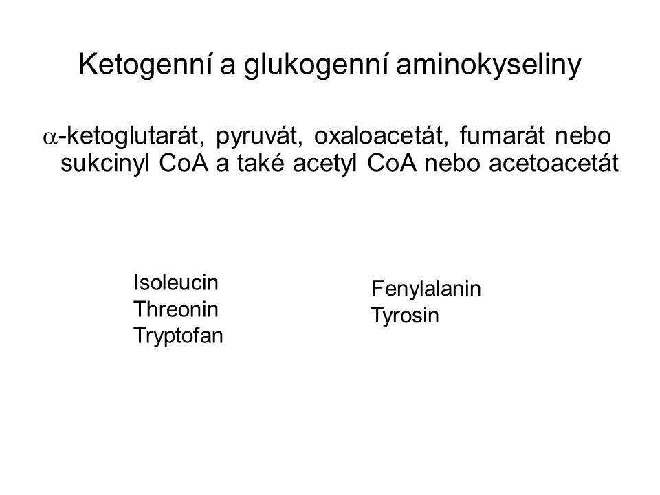 Ketogenní a glukogenní aminokyseliny  -ketoglutarát, pyruvát, oxaloacetát, fumarát nebo sukcinyl CoA a také acetyl CoA nebo acetoacetát Isoleucin Thr