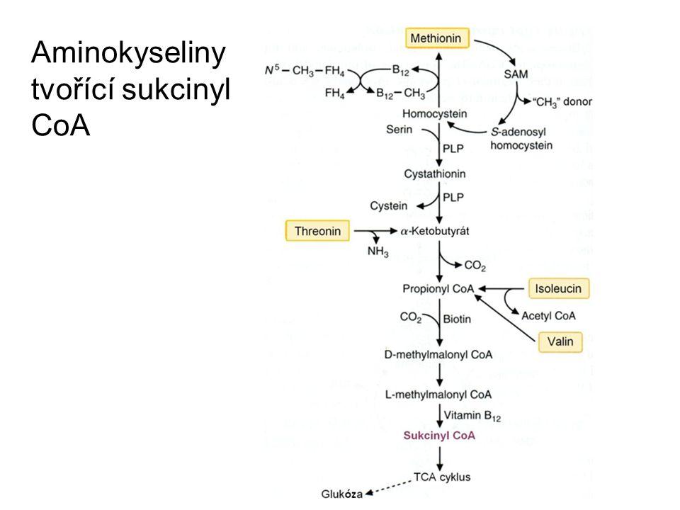 Aminokyseliny tvořící sukcinyl CoA