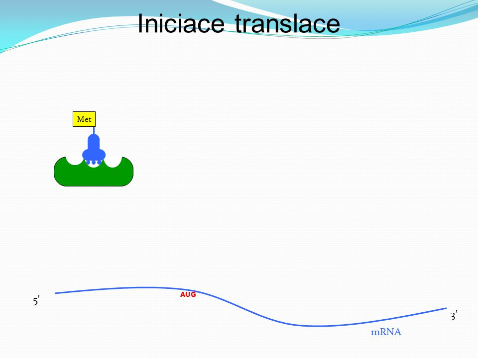 Met AUG mRNA 5' 3' Iniciace translace