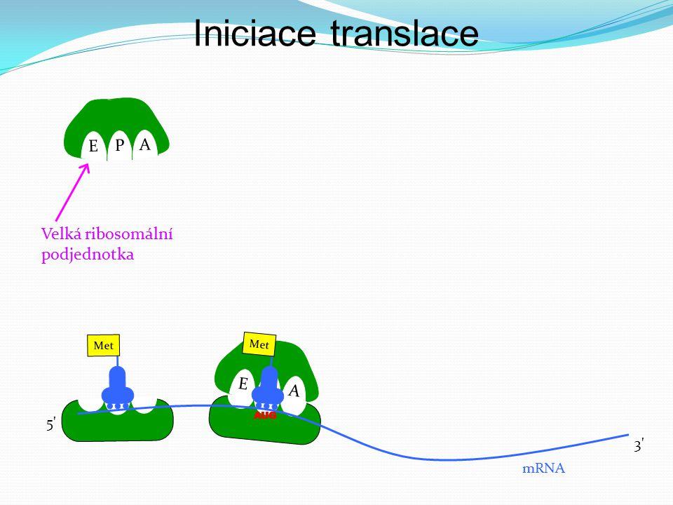 E P A E P A Met AUG mRNA 5' 3' Velká ribosomální podjednotka Iniciace translace